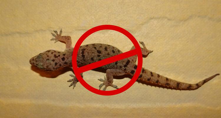 Lizard Pest Control